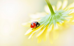 Picture flower, macro, yellow, red, background, ladybug, beetle, blur, petals, insect, sitting, bug, on the flower