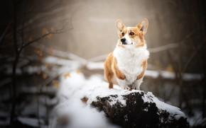 Picture snow, dog, Welsh Corgi