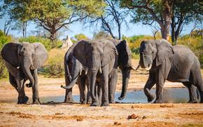 Picture trees, nature, shore, elephant, Savannah, elephants, the bushes, pond, the herd