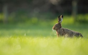 Picture greens, summer, grass, look, nature, grey, background, glade, hare, profile, face, Bunny, bokeh, rasty