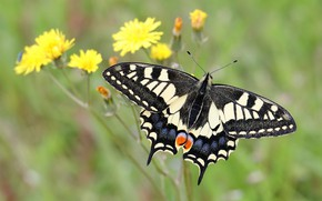 Picture macro, flowers, background, butterfly, insect, swallowtail, mother and stepmother