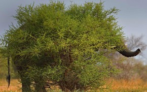 Picture tree, elephant, Bush, South Africa, hid, Limpopo, Marakele national Park