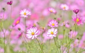 Picture summer, flowerbed, kosmeya