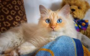 Picture cat, cat, look, face, toy, portrait, bear, lies