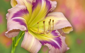 Picture flower, stamens, daylilies