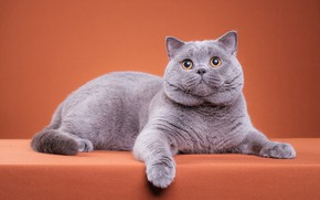 Picture cat, cat, look, pose, kitty, grey, paws, muzzle, cute, lies, kitty, orange background, friendly, British, …