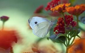 Picture macro, flowers, butterfly, white, bokeh