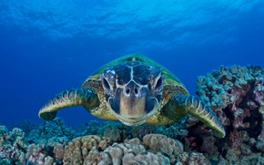 Picture sea, the ocean, green turtle