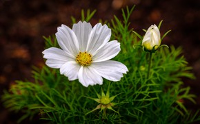 Picture white, flower, summer, leaves, the dark background, petals, Bud, kosmeya
