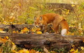 Picture autumn, look, leaves, nature, pose, Fox, tail, red, log