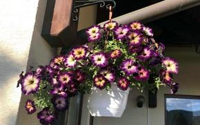 Picture flowers, petunias, street pot