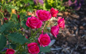 Picture bright, roses, branch, garden, pink, bokeh
