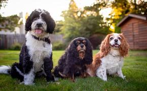 Picture dogs, yard, three, trio, friends, Trinity, three dogs