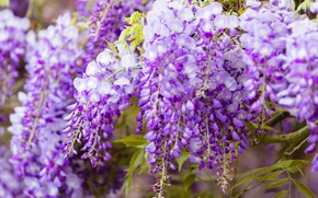 Picture flowers, close-up, branches, nature, background, color, beauty, spring, flowering, cascade, lilac, beautiful, inflorescence, lilac, blooming, …