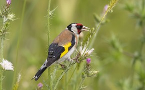 Picture grass, bird, bokeh, black-headed goldfinch