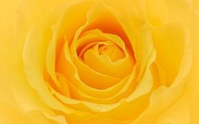 Picture macro, yellow, rose, petals