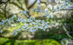 Picture greens, flowers, branches, mood, blur, spring, white, flowering, bokeh, dogwood