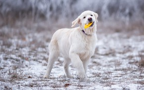 Picture winter, frost, field, grass, look, snow, joy, pose, Park, toy, the game, dog, paws, puppy, …
