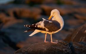 Picture stones, bird, Seagull, pond