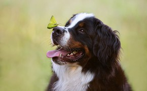 Picture face, background, butterfly, dog, Bernese mountain dog