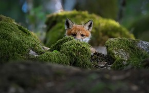 Picture fox, Fox, Christian Lindsten