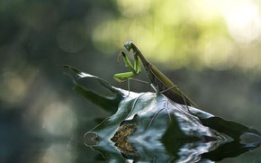 Picture water, nature, sheet, mantis
