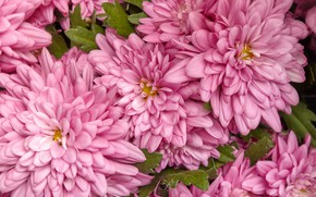 Picture flowers, pink, chrysanthemum