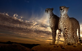 Picture the sky, clouds, clouds, nature, stones, background, pair, Cheetah, wild cats, twilight, two, cheetahs, two ...