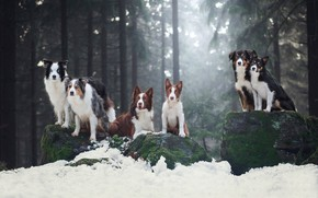 Picture winter, forest, dogs, look, light, snow, branches, pose, stones, together, moss, ate, team, pine, walk, …