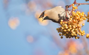 Picture berries, background, bird, branch, beak, fruit, orange, Rowan, bokeh, blue sky, the Waxwing