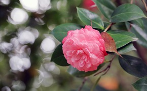 Picture nature, branch, flowering, Camellia