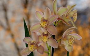 Picture flowers, spring, Orchid, bokeh, Cymbidium