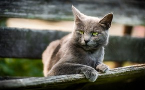 Picture cat, cat, look, face, grey, background, Board, the fence, unhappy, green-eyed, smoky