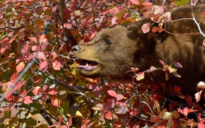 Picture face, leaves, branches, tree, bear, profile, the Bruins