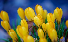 Picture flowers, spring, yellow, crocuses, buds, a lot, blue background, bokeh