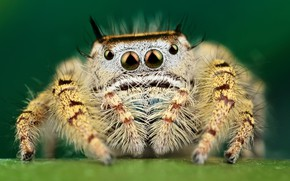 Picture eyes, macro, yellow, pose, green, background, legs, spider, hairy, striped, jumper, jumper, spider, sakunik, the …