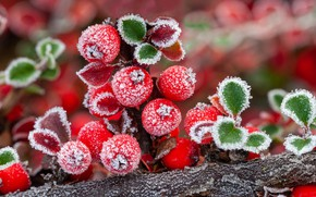 Picture frost, autumn, berries, crystals