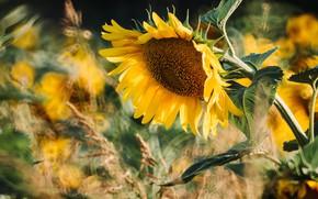 Picture flower, summer, leaves, light, sunflowers, yellow, nature, sunflower, blur, petals, stem, spikelets, sunflower, bokeh