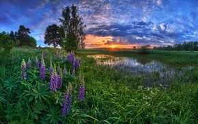 Picture summer, sunset, Lupin