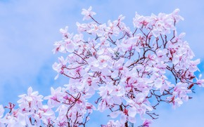 Picture the sky, branches, spring, sky, nature, blossom, spring, Magnolia, branch, magnolia