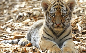 Picture look, tiger, paws, cub, kitty, face, wild cat, tiger