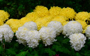 Picture leaves, drops, yellow, petals, garden, white, flowerbed, chrysanthemum, a lot, lush, Terry