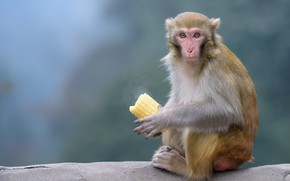 Picture look, stone, corn, monkey, sitting, the cob, meal, monkey