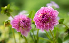 Picture pink, Dahlia, bokeh