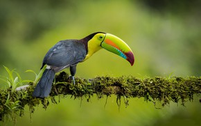 Picture bird, branch, jungle, Toucan