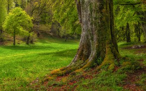 Picture greens, summer, grass, roots, Park, tree, branch, glade, trunk, ivy