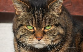 Picture cat, look, face, light, grey, striped, thick