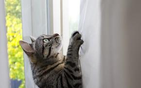 Picture look, looking, curtains, feline