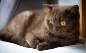 Picture cat, cat, look, face, pose, kitty, lies, brown, British, chocolate, yellow eyes