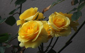 Picture background, roses, yellow roses